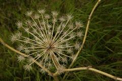 Droge bloem in Denali royalty-vrije stock fotografie