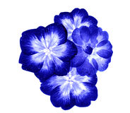 Droge bloemen in blauw & wit Royalty-vrije Stock Afbeelding