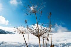 Droge bloemen in de sneeuw Stock Foto's