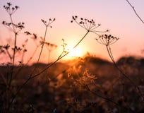 Droge bloemen en zonsondergang Royalty-vrije Stock Afbeelding