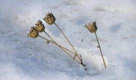 Droge bloemen op een achtergrond van witte sneeuw royalty-vrije stock afbeeldingen