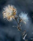 Droge bloemen van de Distel stock afbeeldingen