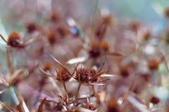 Droge bloesems van een blauw-hoofd op het gebied De intense oranje kleur van de bloeiwijze wijst op de rijpheid van de zaden slui royalty-vrije stock foto's