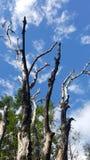 Droge bomen en de blauwe hemel Stock Afbeelding