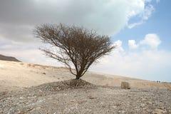 Droge boom bij het Dode Overzees Stock Fotografie