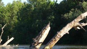 Droge boom in de rivier stock footage