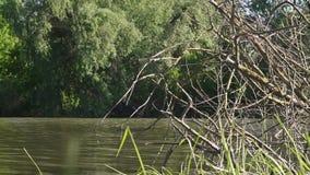 Droge boom in de rivier stock videobeelden