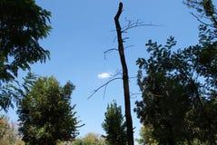 Droge boom die zich in de blauwe hemel overhaast storten royalty-vrije stock foto's