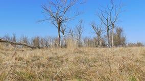 Droge boom die zich eenzaam op de beweging van het de aardlandschap van het grondgras bevinden stock video