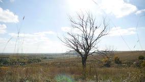 Droge boom eenzaam op het gebied op een achtergrond van de blauwe aard van de hemelherfst stock videobeelden