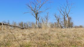 Droge boom eenzame status op de beweging van het de aardlandschap van het grondgras stock footage