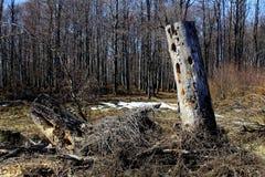 Droge boom in het bos Royalty-vrije Stock Foto's