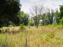 Droge boom in het midden van swampland Stock Foto's
