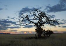 Droge Boom in Namibian Zonsondergang Stock Afbeeldingen