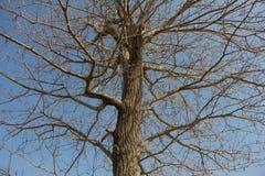 Droge boom op een achtergrond van blauwe hemel Royalty-vrije Stock Fotografie