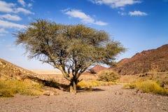 Droge boom in vallei van zandsteenwoestijn in Israël Royalty-vrije Stock Foto's