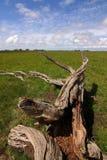 droge boomboomstam Stock Afbeeldingen