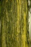 Droge boomschors op de boomstam stock foto