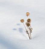 Droge burs in snowfield royalty-vrije stock afbeelding