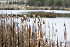 Droge Cat Tail Grass met Waterachtergrond Royalty-vrije Stock Afbeelding