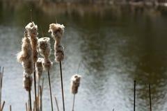 Droge Cat Tail Grass met Waterachtergrond Stock Afbeelding