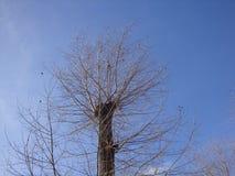 Droge de winterboom met gezaagd en overwoekerd met nieuwe takken van de blauwe hemel royalty-vrije stock foto's