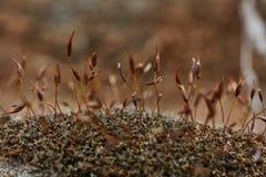 Droge dichte omhooggaand van de mos extreme macrofoto royalty-vrije stock afbeeldingen