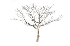 Droge die boom op wit wordt geïsoleerd Stock Fotografie