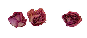 Droge die gevoelig nam bloemen en bladeren op wit worden geïsoleerd toe Stock Afbeeldingen