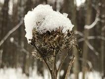 Droge distel onder sneeuw Royalty-vrije Stock Fotografie