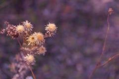 Droge doornige bloemen op een gebied in de herfst Aard vage achtergrond distel Ondiepe Diepte van Gebied Purper gestemd beeld De  royalty-vrije stock fotografie