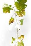 Droge druivenbladeren op witte achtergrond Royalty-vrije Stock Afbeeldingen