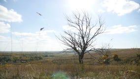 Droge eenzaam in de gebiedsboom op een achtergrond van de blauwe aard van de hemelherfst stock footage