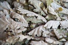 Droge eiken bladeren Stock Afbeelding