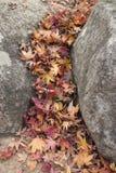 Droge esdoornbladeren tussen de rotsen Stock Afbeelding