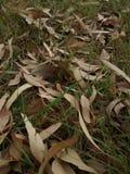 Droge eucalyptusbladeren Royalty-vrije Stock Afbeeldingen