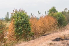 droge eucalyptusinstallatie stock afbeelding