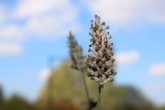 Droge Franse Lavendel Royalty-vrije Stock Fotografie