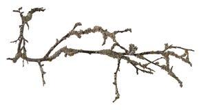 Droge geïsoleerde boomtak Stock Foto's