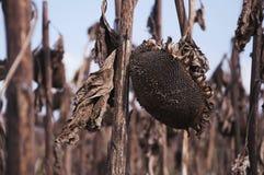 Droge, gebroken Zonnebloemen in Autumn Field Against Blue Sky het concept, dood, geselt, oorlog, apocalyps royalty-vrije stock afbeelding