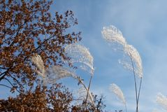 Droge gele bladeren op de bomentakken en de oren van droog gras stock afbeeldingen