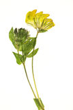Droge gele bloem Royalty-vrije Stock Foto