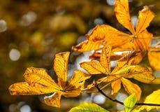 Droge gele de herfstbladeren van kastanje op natuurlijke achtergrond Royalty-vrije Stock Foto