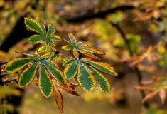 Droge gele de herfstbladeren van kastanje op natuurlijke achtergrond Royalty-vrije Stock Afbeeldingen