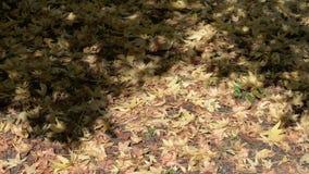 Droge gele esdoornbladeren stock video