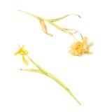 Droge gele tulpenbloem over witte achtergrond Stock Foto's