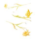 Droge gele tulpenbloem over witte achtergrond Stock Fotografie