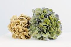 Droge hydrangea hortensia's Stock Afbeeldingen