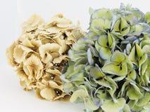 Droge hydrangea hortensia's Stock Foto's