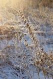 Droge installaties in sneeuw, weide bij de winter Stock Afbeeldingen